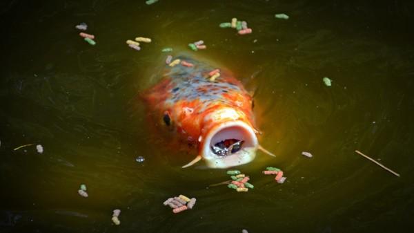 Koi comiendo 1 alimentación peces kois