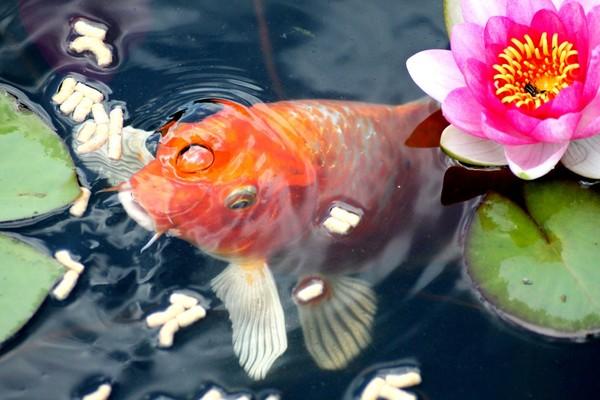 Koi comiendo 2 alimentación peces kois