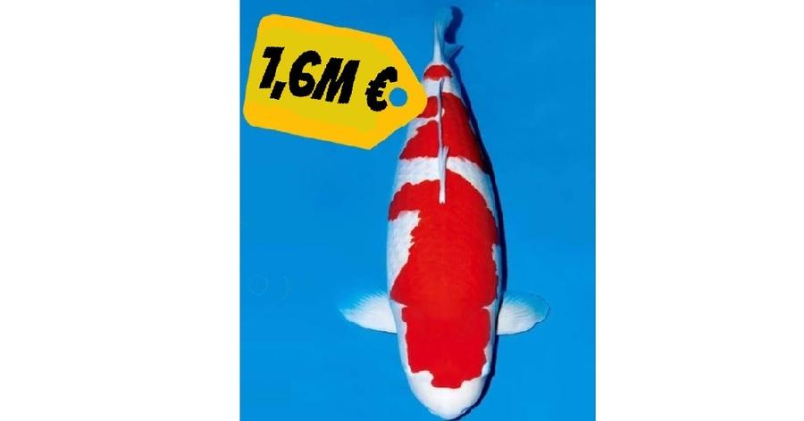 El pez koi más caro del mundo