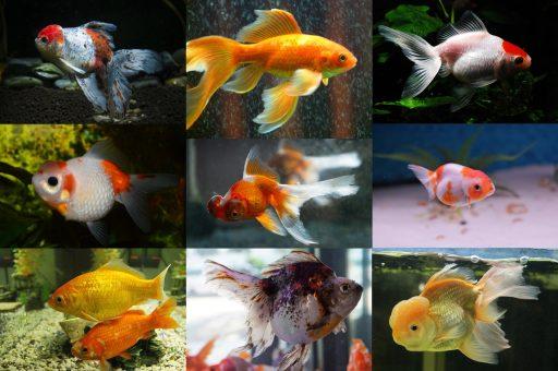 Mosaico variedades goldfish
