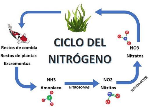 Ciclo del nitrógeno en el estanques