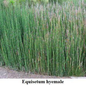 Planta estanque cola de caballo Equisetum hyemale