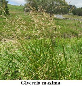 Planta estanque Glyceria maxima