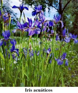 Planta estanque Iris acuáticos