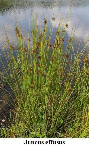 Planta estanque Juncus effusus Junco