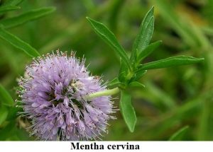 Planta estanque Mentha cervina