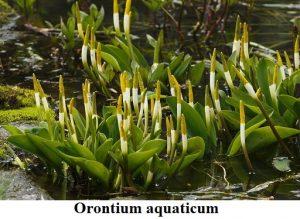 Planta estanque Orontium aquaticum